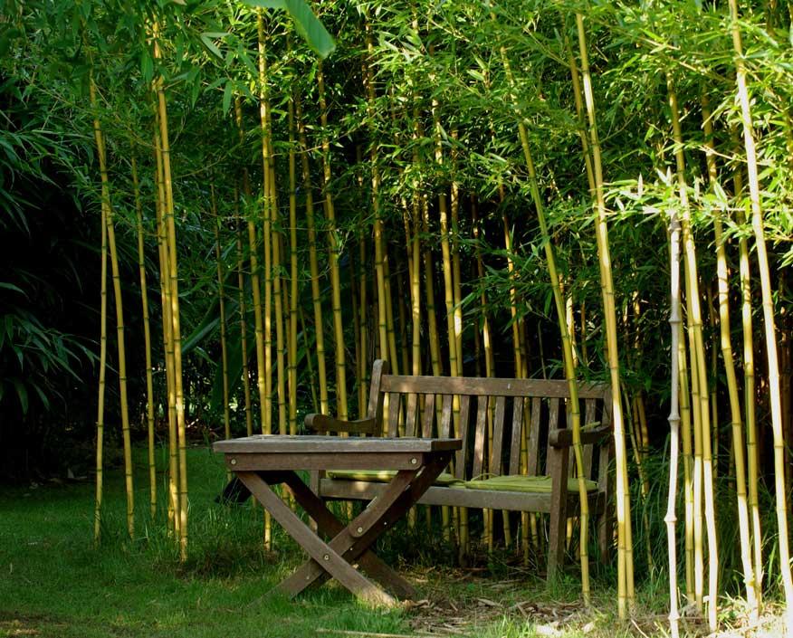 bambuk-phyllostachys-aureosulcata-spectabilli-39.jpg